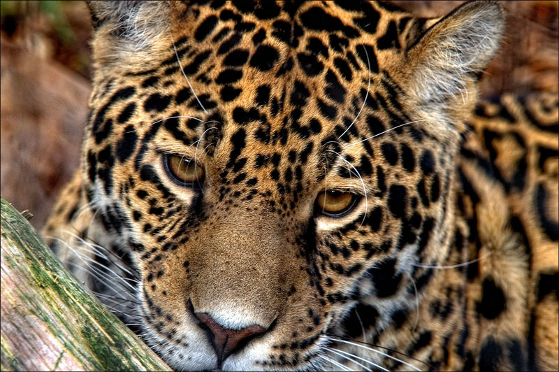 Close-Up Portrait Of A Jaguar