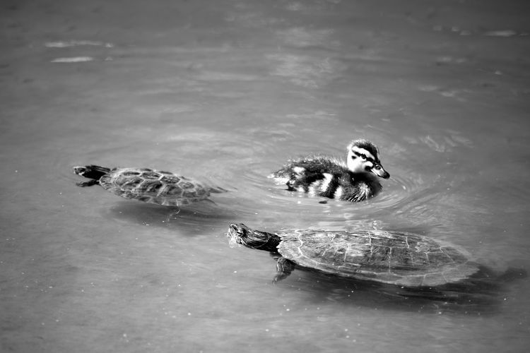 Turtles And Duckling In Pond