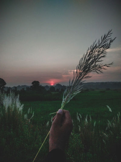 Hand holding plant on field against sky during sunset