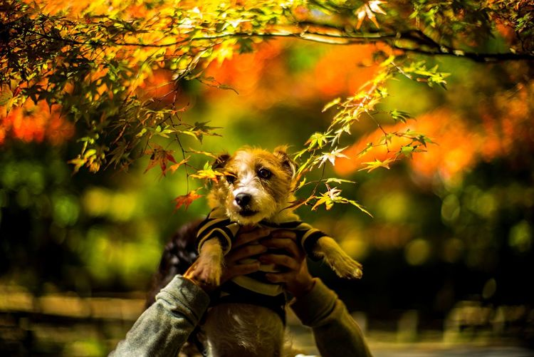 Bokeh Photography Bokeh Fall Colors Fall Autumn colors Autumn Momiji Japanese Maple Maple Leaf Leaf Kinoko Jack Russell Terrier Jack Russell Doggy Dog One Animal Nature Focus On Foreground Mammal Human Body Part Plant Unrecognizable Person Holding Day Tree Leaf Real People Outdoors Change