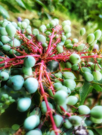 Green Color Nature Plant Outdoors No People Beauty In Nature Red Close-up Beeries Wild Berries Beeris HDR Hdr_Collection Hdr Edit HDR Collection Hdr_lovers Green Green Green Green!