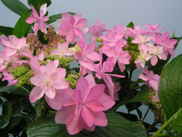 """紫陽花 """"ダンスパーティー"""" Beautiful Flower Flower Flowers Cute♡ Flowerporn"""