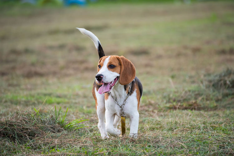 Animal Animal Head  Animal Themes Beagle Canine Day Dog Domestic Domestic Animals Field Focus On Foreground Grass Jack Russell Terrier Land Looking Mammal Mouth Open Nature No People One Animal Outdoors Pets Plant Vertebrate