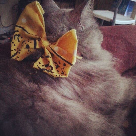 Dixie and her back bow. Catofinstagram Catlover Catpictureoftheday Bow yellow persian