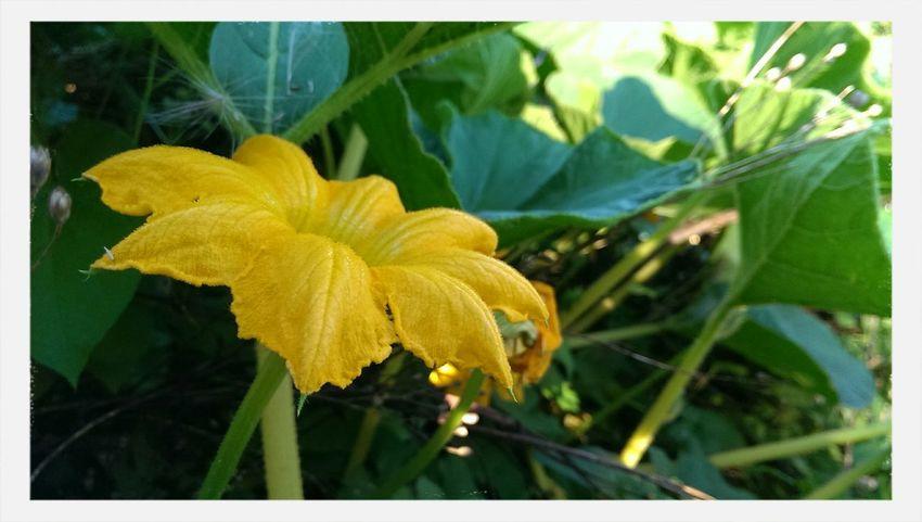 Pumpkin Blossom Flower