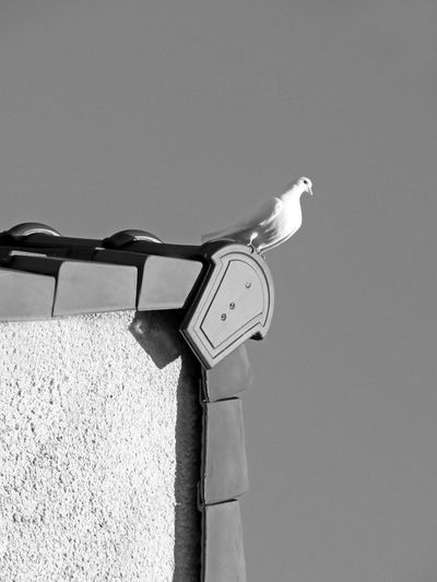 White Bird Dove Standing On Roof Bnw White Color Black And White Black And White Photography