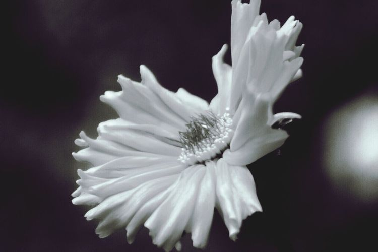 Flowerporn Bnw_friday_eyeemchallenge Flower Head Bnwphotography Pacific Northwest  EyeEm Best Shots - Black + White Oregon Coast ❤️ Flowers...