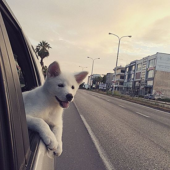 """Cruising Akita Car Cloud Cloud - Sky Cruising Day Diminishing Perspective Dog Domestic Animals Mammal No People Outdoor Outdoors Pets Portrait Road Sky The Way Forward Traveling Trip """"Feel The Journey"""""""