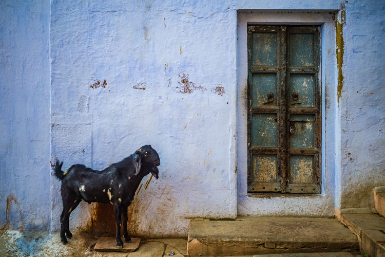 Dog standing on closed door of old building