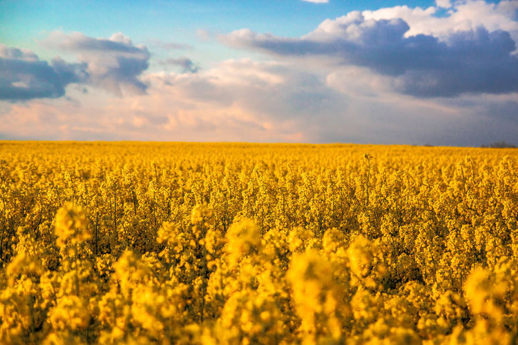 Beautiful View Of Canola Flower Field Against Clouds