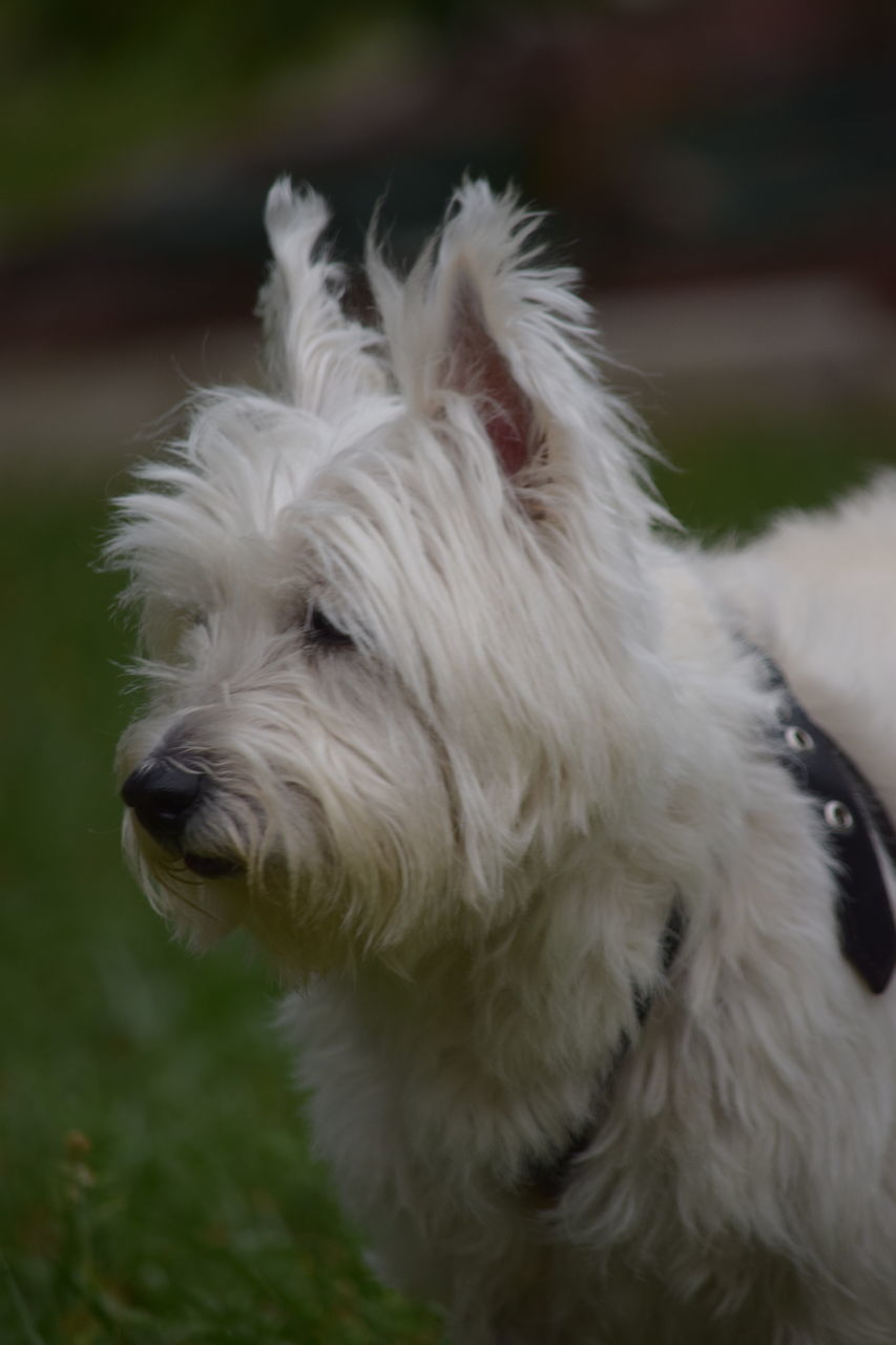 one animal, pets, domestic animals, mammal, dog, animal themes, white color, animal hair, west highland white terrier, close-up, no people, outdoors, grass, day, nature