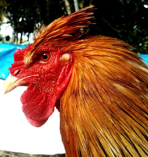 Chicken - Bird Rooster Looking At Camera EyeEm Best Edits Eyem Gallery EyeEm Gallery EyeEm Best Shots Eye For Photography Photo Shoot EyeEm Team Eye4photography  Eye4photography  EyeEmBestPics Eye4photography  EyeEm Masterclass EyeEmNewHere Eyemphotography Cockfighting Beauty In Nature EyeEm Selects
