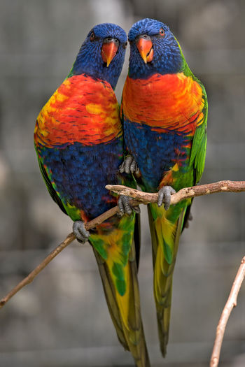Rainbow lorikeets perching on branch