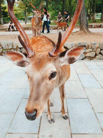Nature On Your Doorstep Nara Deer Japan Animals Animal Nature EyeEm Best ShotssEyeEm Nature LoverrEyeEm Best Editss