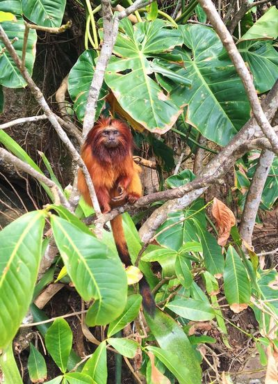 Paraty Brazil Red Monkey