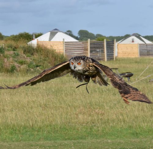 Eagle Owl in flight Grass Day Outdoors Grass Wildlife Photography South Downs Sky Beauty In Nature Tree Evening Field Low Angle View Display Eagle Owl  Owl Predator Hunter Mid Air Wingspan Flying In Flight Eyes Feathers