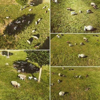 Ein Nachmittag auf der Allmende. Schafe 🐑 Ziegen 🐐 DEfromAbove Munich München Parrot Bebop2 Quadcopter 🚁 🎮