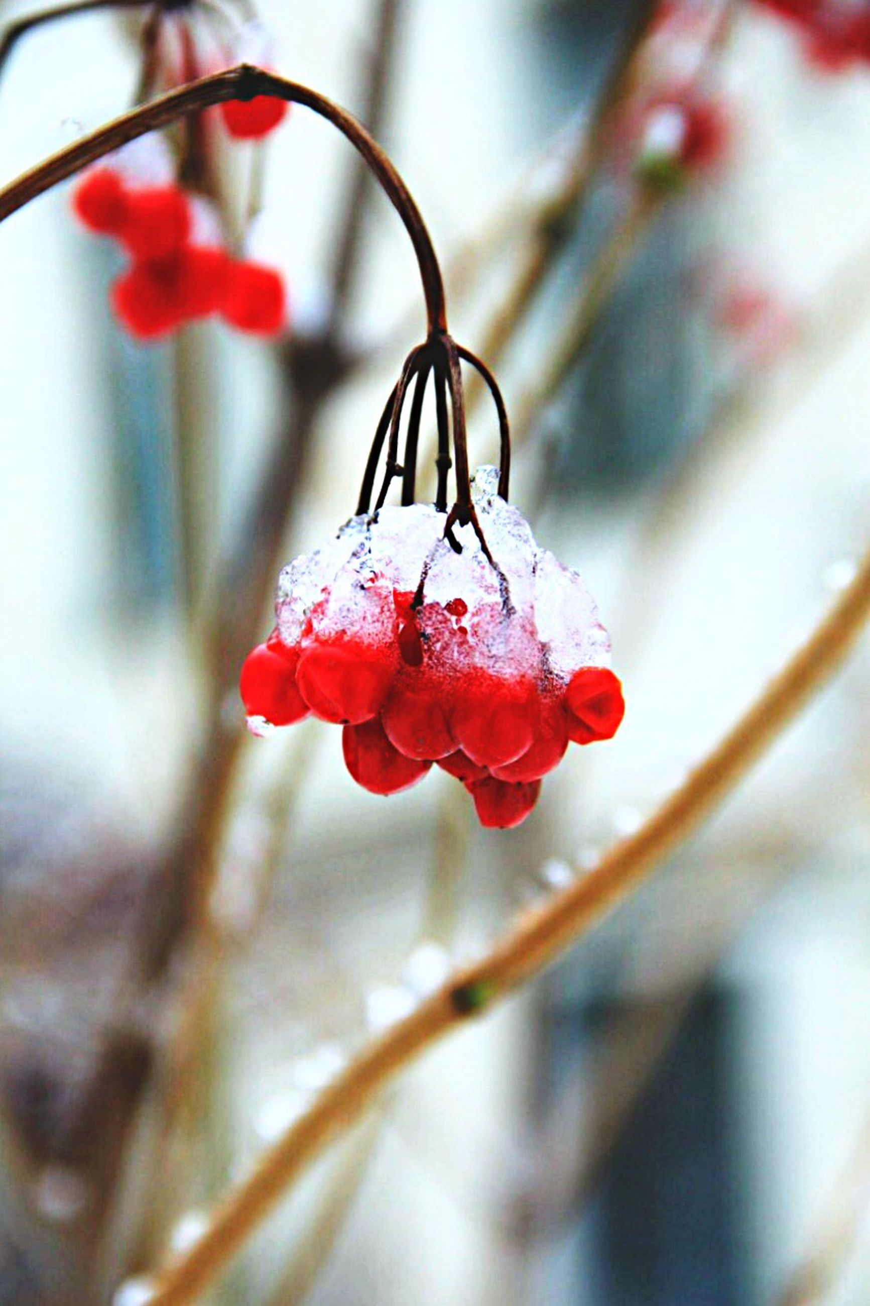 red, focus on foreground, close-up, freshness, growth, flower, nature, fragility, selective focus, twig, season, stem, beauty in nature, plant, frozen, branch, cold temperature, berry fruit, winter, fruit