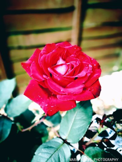 The Wife's Rose