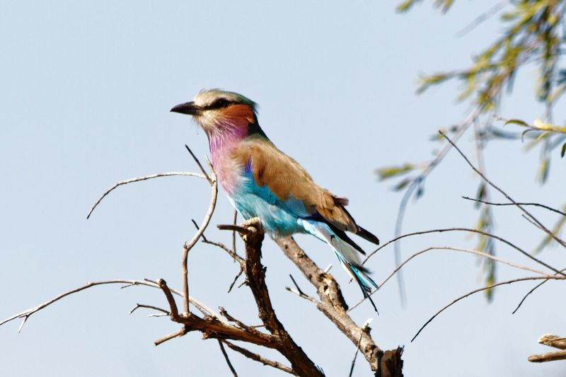 Lilac-breasted roller Coracias Caudatus Roller Lillac-breasted Roller EyeEm Selects Bird Perching Tree Branch Multi Colored Blue Red Feather  Sky Close-up Tropical Bird Beak Bare Tree
