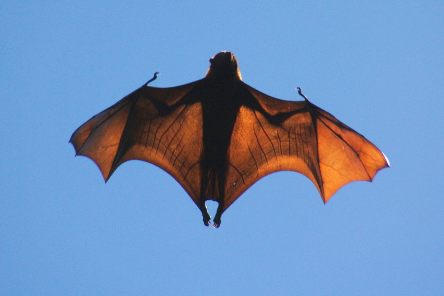 Animal Themes Animal Wing Bat Blue Clear Sky Day Fly Flying Flying Fox Low Angle View No People One Animal Outdoors Zoology