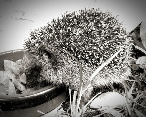 Baby hedgehog eating catfood Baby Animal Garden Wild Animal Baby Hedgehog Black And White Eating Close-up Hedgehog Spiked Spiky EyeEmNewHere Autumn Mood