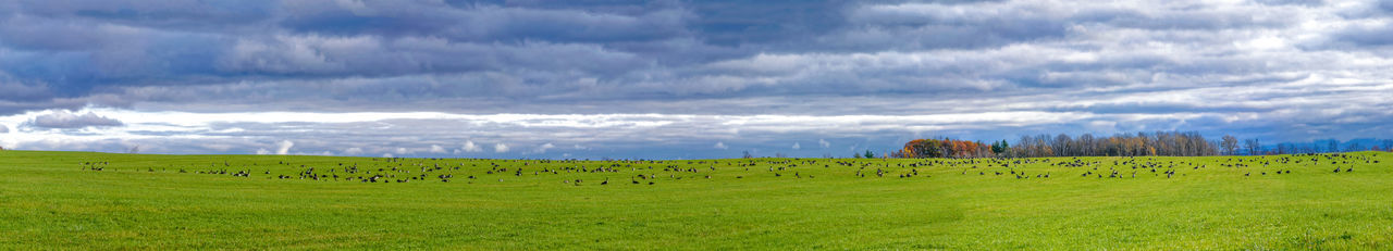 Panoramic view of stop of a bustard group in migration Birds Busters Web Bannet Panorama Panoramic Environment Cloud - Sky Grass Sky Field Landscape Scenics - Nature Land Plant Tranquil Scene Tranquility Horizon Over Land Green Color Outdoors