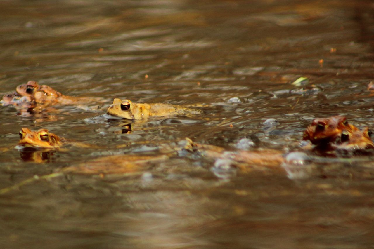 Close-Up Of Frogs Swimming In Lake
