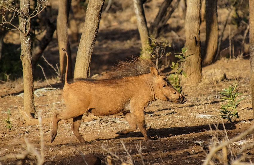 Animal Themes Animal Wildlife Animals In The Wild Day Mammal Nature No People One Animal Outdoors South Africa Tree Warthog