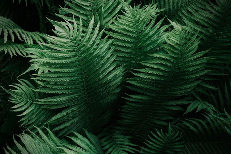 Fern EyeEm Best Shots Backgrounds Beauty In Nature Botany Close-up Coniferous Tree Day Fern Full Frame Green Color Growth High Angle View Leaf Leaves Natural Pattern Nature Nature_collection No People Outdoors Pattern Pine Tree Plant Plant Part Tranquility Tree