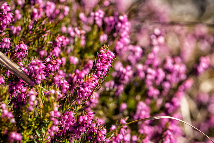 Erica carnea Erica Carnea Winter Heath Alpine Heath Flower Flowering Plant Plant Freshness Fragility Vulnerability  Growth Beauty In Nature Close-up Petal Purple Flower Head Focus On Foreground Pink Color No People Selective Focus Day Nature Plant Stem Outdoors Lavender