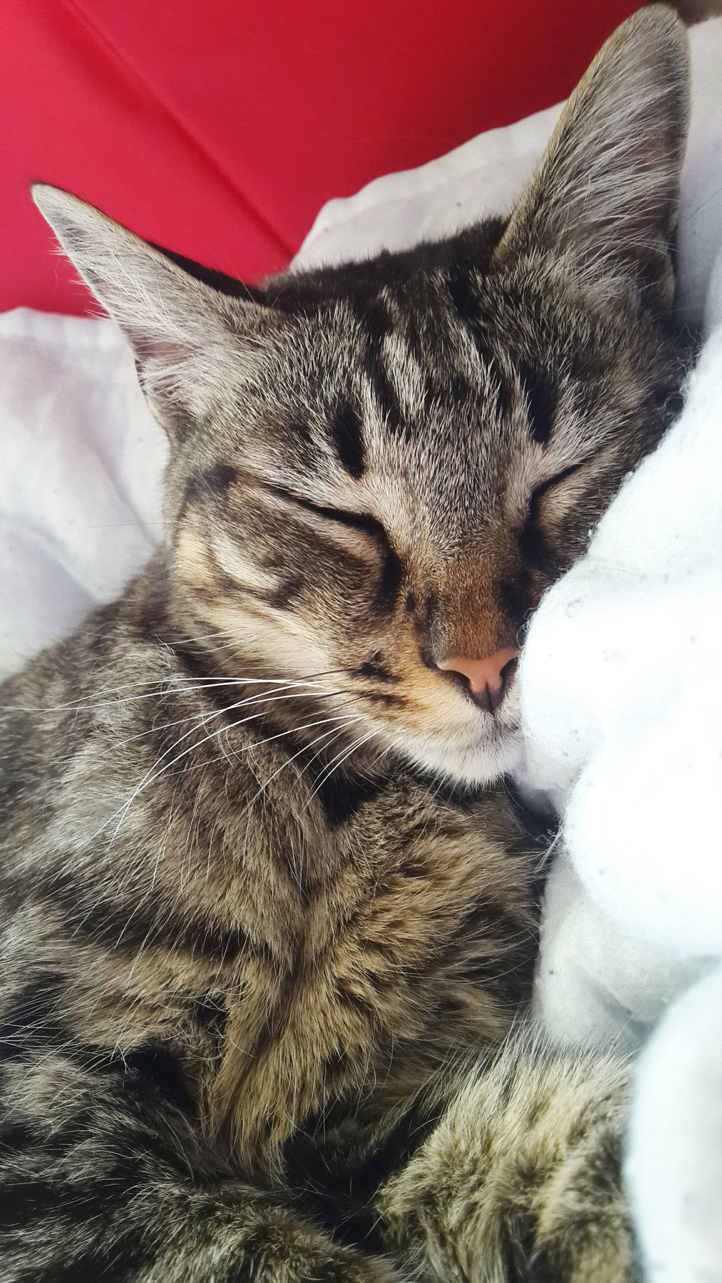 mammal, pets, animal themes, domestic animals, domestic cat, one animal, close-up, indoors, bed, no people, feline, day