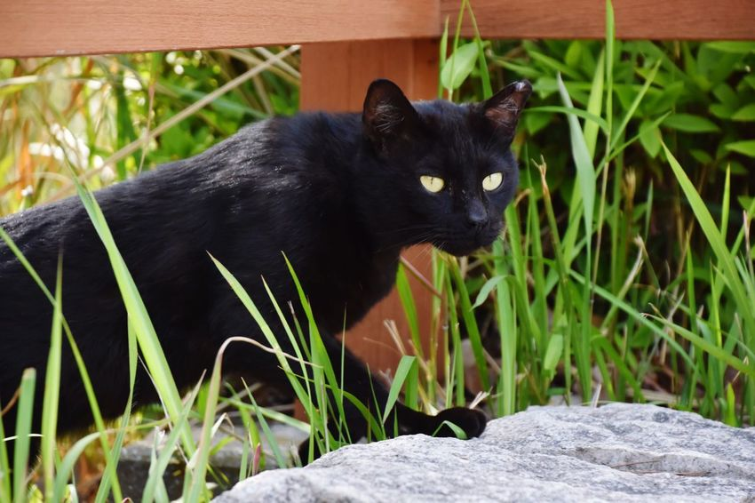 Cat BLackCat Black Animal Stray Cat Cat Lovers Cat Watching Cat Photography 野良猫 お散歩Photo Streetphotography 黒猫 Golden Eyes Black Cat 黒豹のような猫ちゃん。