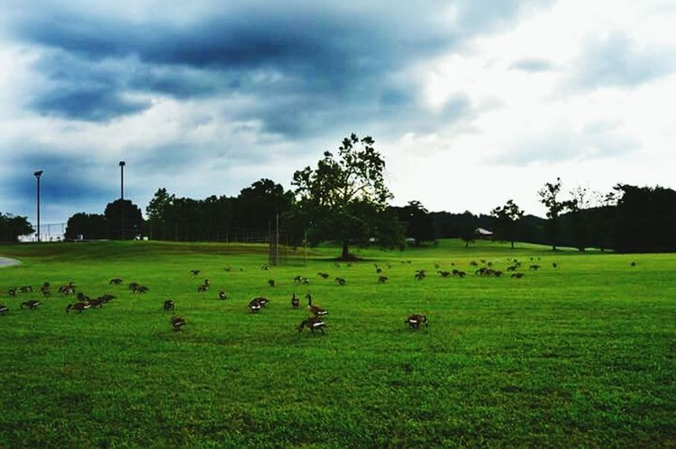 Geese Geese Gathering Geese Photography Geese Families Caryville Tennessee Cove Lake State Park Walking Around Escaping Relaxing Check This Out Taking Photos Nature Photography Naturelovers Cloudy Skies Summer 2016 Summer ☀ Coulor Of Life