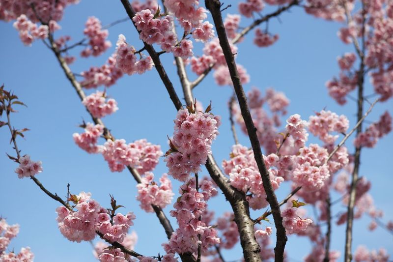 Cherry Blossoms Fragility Flowering Plant Flower Vulnerability  Springtime Blossom Plant Tree Branch Beauty In Nature Freshness Pink Color Sky Nature Day Cherry Blossom Close-up Petal