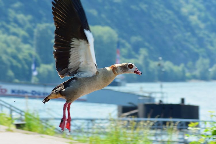 Beautiful Egyptian Goose taking off EyeEmNewHere Nilgans Take Off! Animal Themes Animal Wildlife Animals In The Wild Beauty In Nature Bird Day Egyptian Goose Flying Flying Bird Flying Goose Focus On Foreground Mid-air Motion Nature No People One Animal Outdoors Spread Wings Water