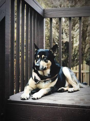 Domestic Animals Animal Themes Pets Dog One Animal Mammal Lying Down