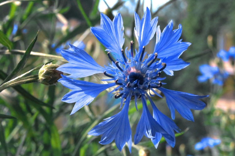 Beauty In Nature Blue Botany Close-up Cornflower Cyanus Day Flower Flower Head Flowering Plant Focus On Foreground Fragility Freshness Growth Inflorescence Kornblume Nature No People Outdoors Petal Plant Pollen Purple Vulnerability