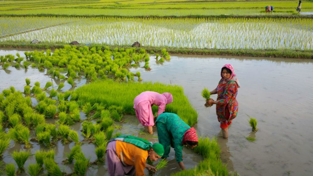 Spring is the time to plant rice in Kashmir. Hardworking women of Lolab valley in Kashmir . The Photojournalist - 2015 EyeEm Awards Lolab Valley Kashmir Working Women Hard Working Women Rice Planting Fields Aerial Shot Collected Community