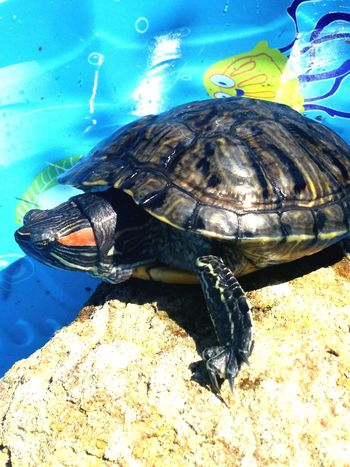 Turtle Red Eared Slider Turtle Swimming Relaxing Tanning Animal_collection