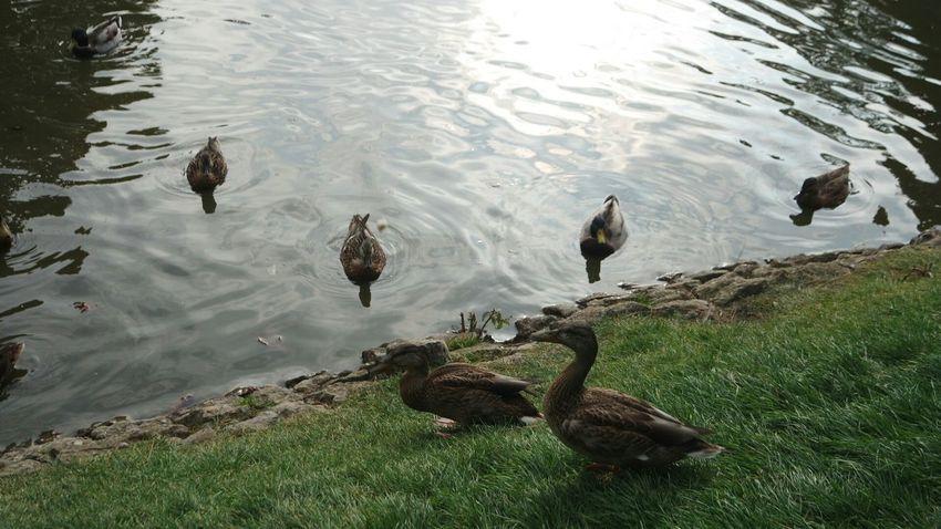 Samsungnx3000 At The Park Pond Life Ducks Unfiltered Original Unedited.