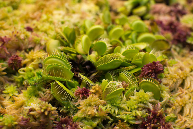 Venus flytrap Dionaea muscipula closeup in wet moss red yellow and green colors. Dionaea Muscipula Animal Themes Beauty In Nature Carnivore Close-up Day Flower Flower Head Fragility Freshness Green Color Growth Leaf Nature No People Outdoors Plant Venus Flytrap