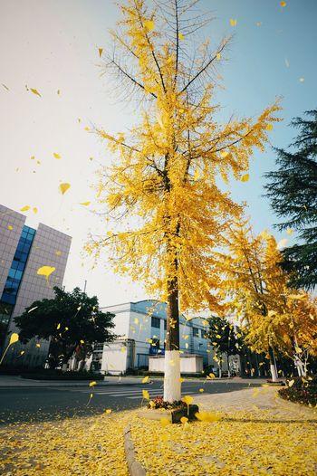 风中的银杏树 gingko tree in the wind Autumn Outdoors Sky Tree