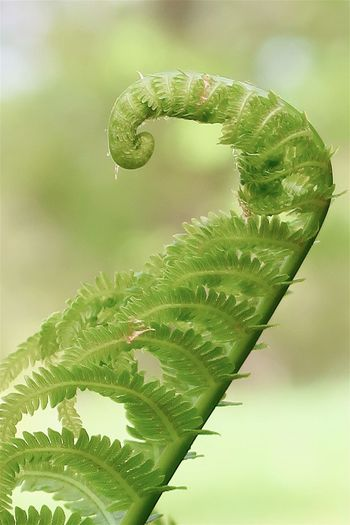 Curled green fern in the forest