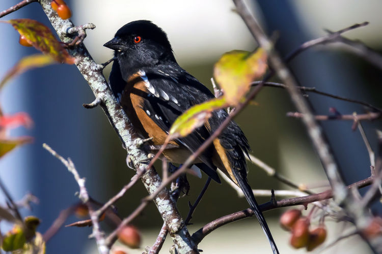 Spotted Towhee perched in a tree Animal Themes Animal Bird Animal Wildlife Vertebrate Animals In The Wild Branch One Animal Perching Tree Selective Focus No People Day Plant Nature Outdoors Black Color Twig Low Angle View Blackbird Fall Bird Photography Spotted Towhee Bird Watching Birds_collection