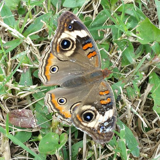 My shot of the day so far 😆 The lovely Buckeye butterfly. Colorsandpatterns Animal Themes Nature Insect Grass Beauty In Nature Outdoors Close-up Butterfly Butterfly - Insect Butterfly Collection Animal Markings Wings Spots And Markings No People Buckeye Butterfly