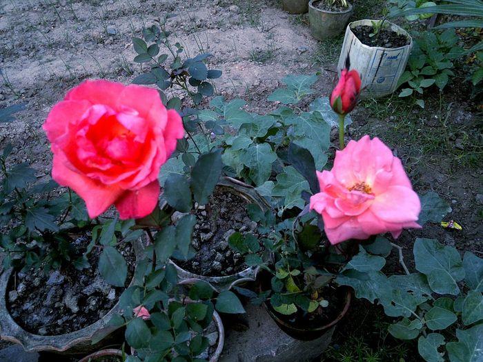 Taking Photos Beautiful Flowers. Rose. Prasent to Gis@gis - 72. Eyeem Nature Lover. Open Edit. Taking Photos.