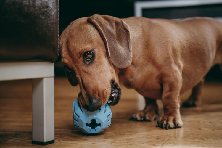Smooth brown miniature dachshund playing with a rubber toy on the floor at home. Inviting Mouth Pet Portraits Animal Head  Animal Themes Brown Cheeky Close-up Dachshund Dog Flooring Focus On Foreground Holding Home Interior Indoors  Innocence No People One Animal Pets Playful Playing Portrait Puppy Toy Young Animal