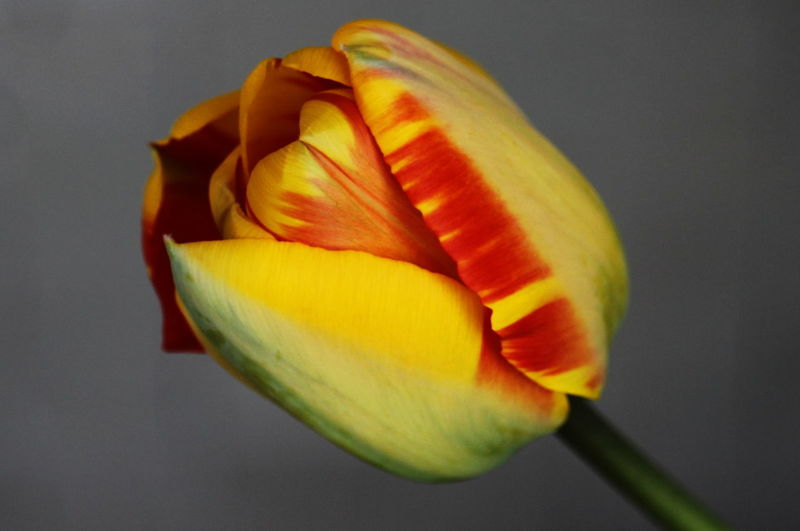 Blooming Close-up Day Flower Flower Head March 2017 Milano No People On My Balcony Outdoors Petal Tulip Yellow And Red