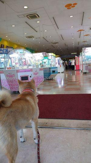 Amusement Arcade EyeEm Selects EyeEm Best Shots EyeEm Sibainu Family Dog It Is Looking Clerk
